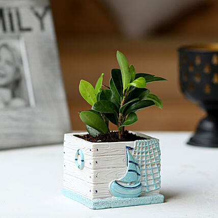 Potted Ficus Compacta Plant:Resin Planters