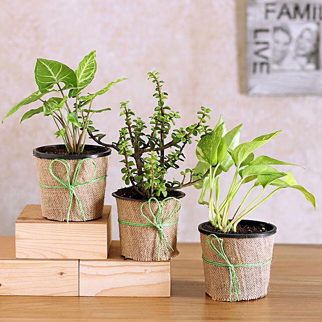 Jade Synogonium & Money Plant Combo
