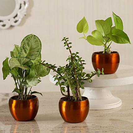 Online Potted Jade With Syngonium & Money Plant Combo:Metal Planters