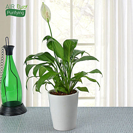 Peace lily plant in a ceramic vase