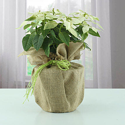 White Poinsettia plant in a pot:Christmas Tree