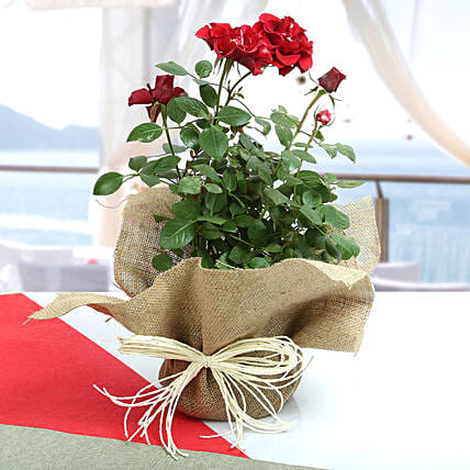 Red rose plant wrapped in natural jute and white raffia:Flowering Plants For Valentine's Day