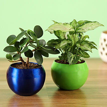 Online Potted Syngonium & Ficus Compacta Plant Combo:Metal Planters Delivery