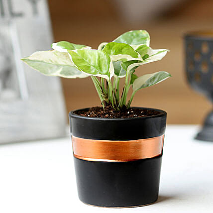 Potted White Pothos Plant