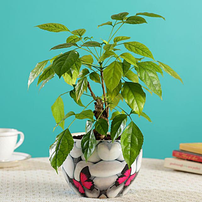 Radermachera Bonsai In Butterfly Printed White Pot:Bonsai Tree