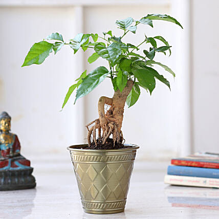 Radermachera Bonsai Plant In Brass Pot:Bonsai Plants
