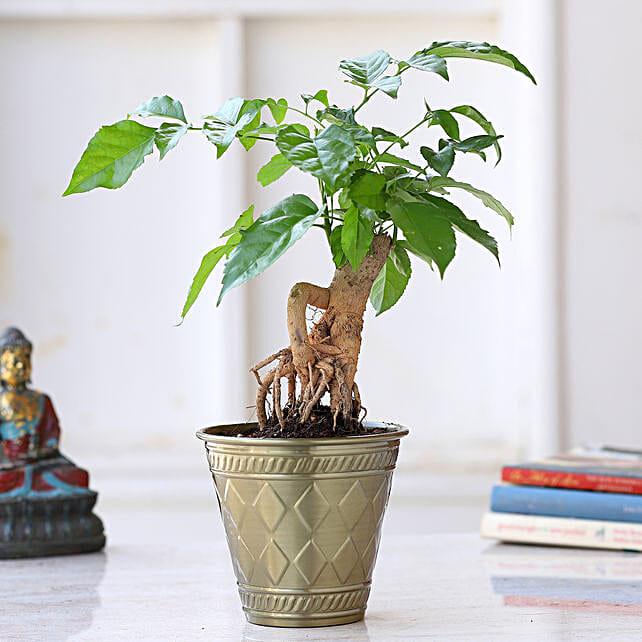 Radermachera Bonsai Plant In Brass Pot:Bonsai Plants