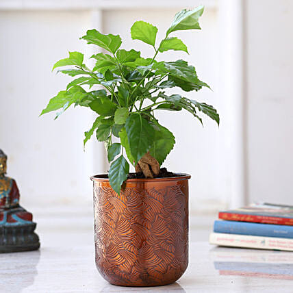Radermachera Bonsai Plant In Orange Pot