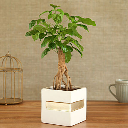 Radermachera Plant In Square Shape Ceramic Pot:Bonsai Plants