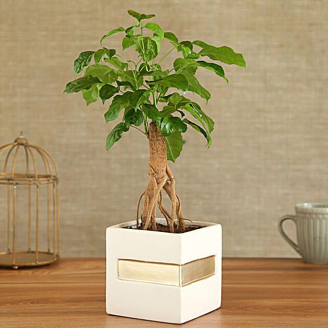 Radermachera Plant In Square Shape Ceramic Pot:Bonsai Tree