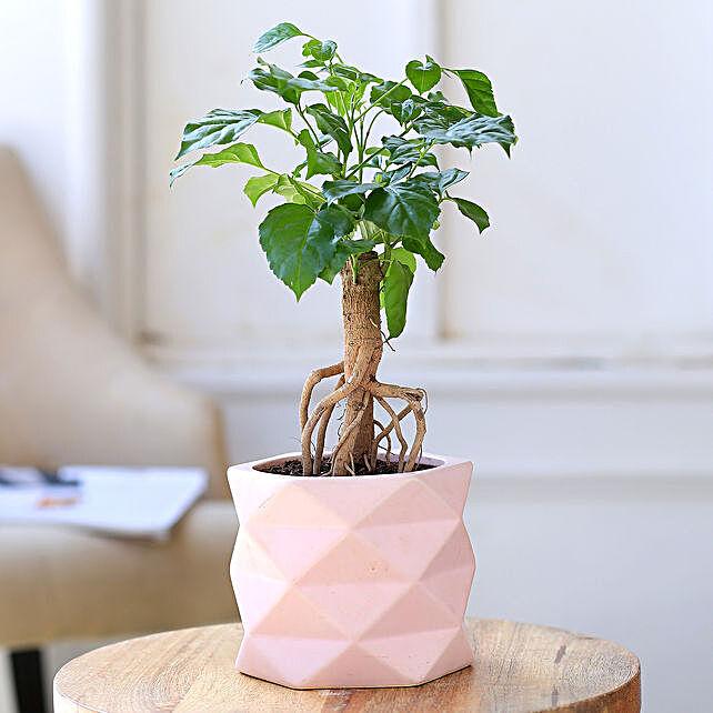 Radermachera Plant In Triangular Ceramic Pot