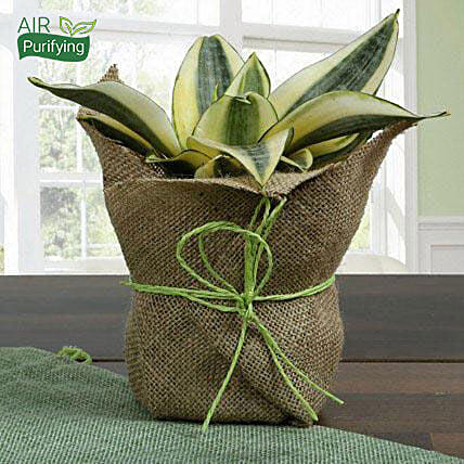 MILT sansevieria plant  in a plastic pot wrapped with natural jute
