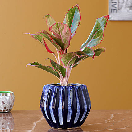 Aglaonema Plant with Designer Planter