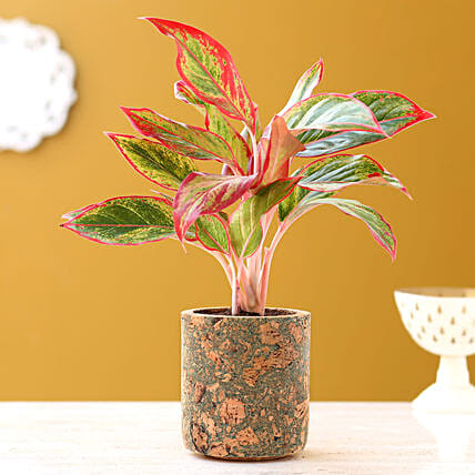 Red Aglaonema Plant In Pipe Shape Cork Pot
