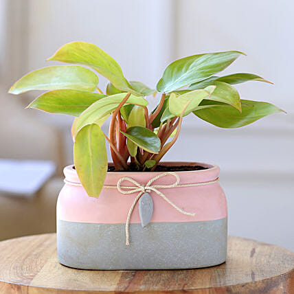 Red Philodendron Plant In Rectangular Ceramic Pot