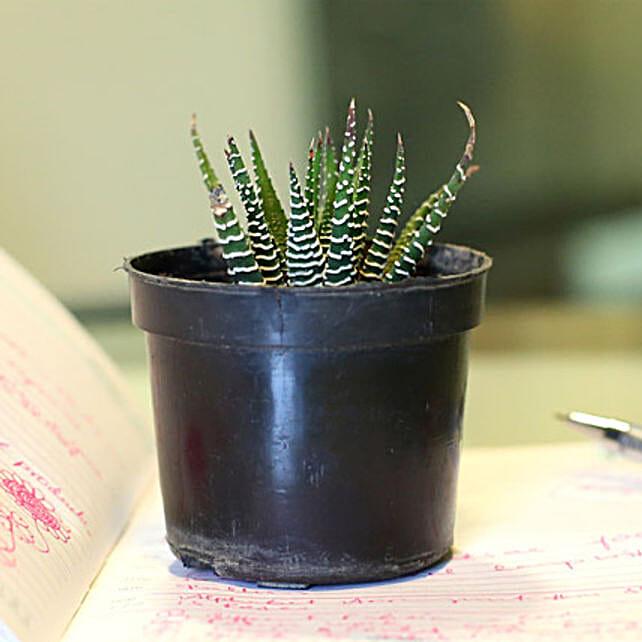 Haworthia attenuata V britteniana plant in a plastic pot