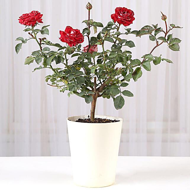 Rose Pot Plant Online