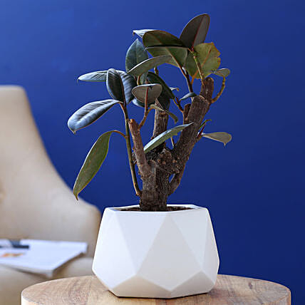 Rubber Bonsai Plant In Octa Shape Melamine Pot