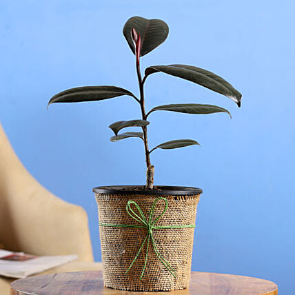 Rubber Plant In Black Nursery Pot