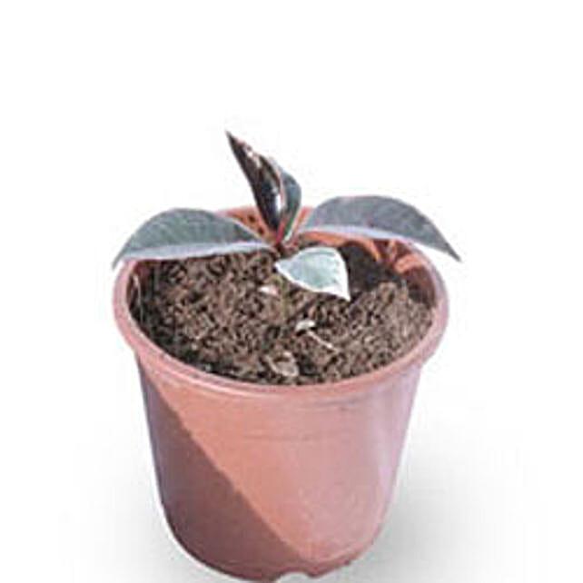 Rubber plant-Rubber plant