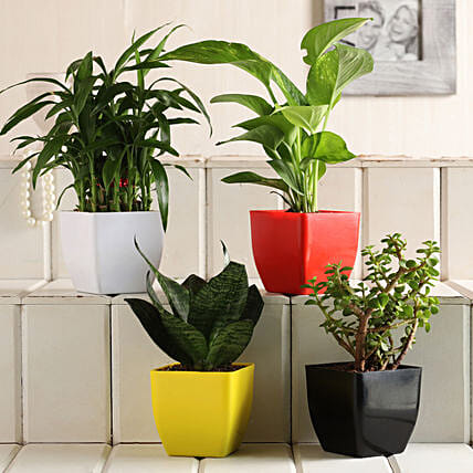 Sansevieria Bamboo Jade Money Plant Set