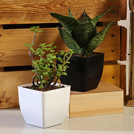 Best Plant Set Online:Air Purifying Plants