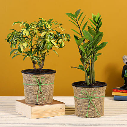 Schefflera And Zamia Plant In Black Plastic Pots