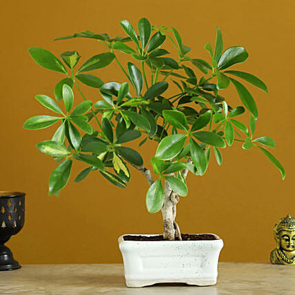 Schefflera Bonsai In Ceramic Tray