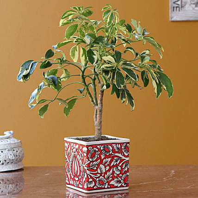 Schefflera Plant in Handpianted Planter