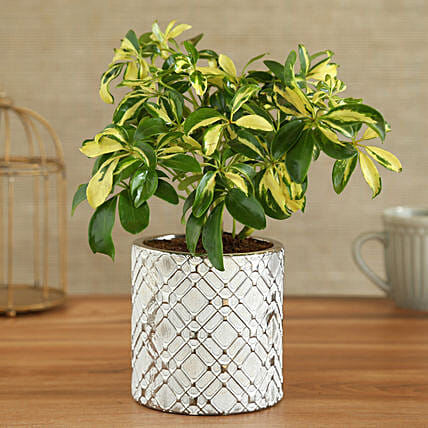 Schefflera Plant In Zigzag Cylindrical Ceramic Pot