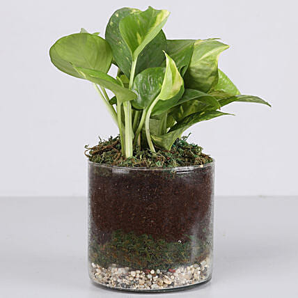 golden money plant in glass terrarium