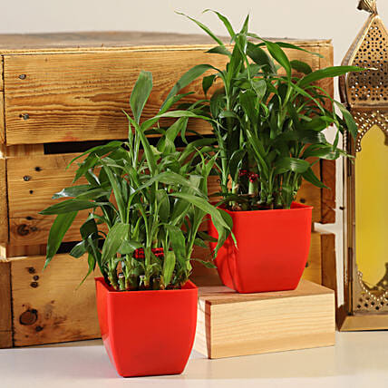 Bamboo Plants Set Online:Lucky Bamboo for Anniversary