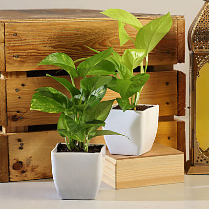 Set Of 2 Money Plants Online:Grand Parents Day Gifts