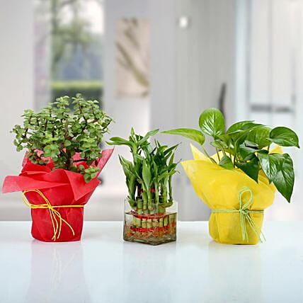 Set Of 3 Lucky Plants Online:Send Lucky Bamboo for Birthday
