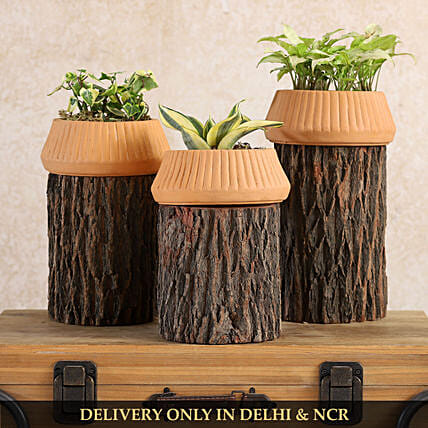 Set Of 3 Plants In Beautiful Terracotta And Wooden Planter