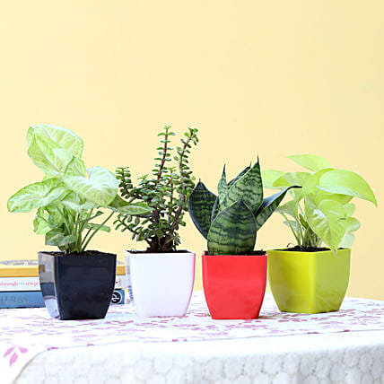 Combo of 4 Indoor Plants Online:Good Luck Plants for Anniversary