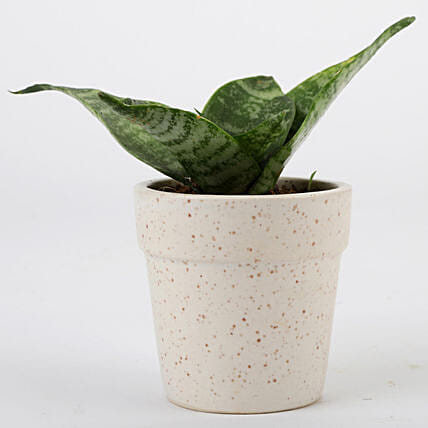 Snakeskin Sansevieria For Mothers Day