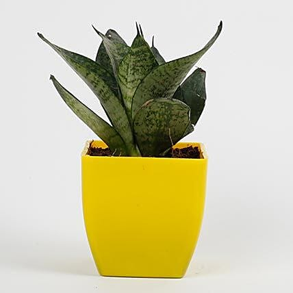 snakeskin sansevieria plant in yellow pot:Plants for Living Room
