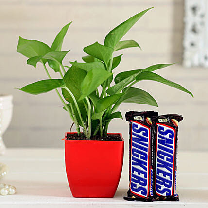 Snickers Money Plant Hand Delivery
