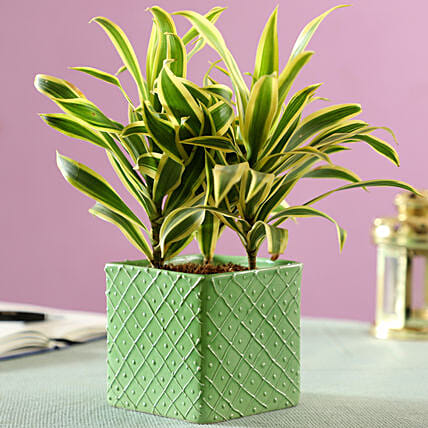 leafy plant in ceramic pot online:Gifts for Family