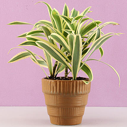 plant in brown pot online