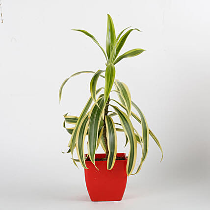 Song Of India Plant in Red Imported Plastic Pot