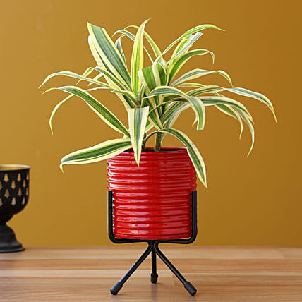 Song Of India Plant In Red Pot With Stand