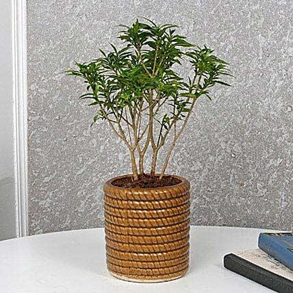 Dwraf Plant With Brown Pot