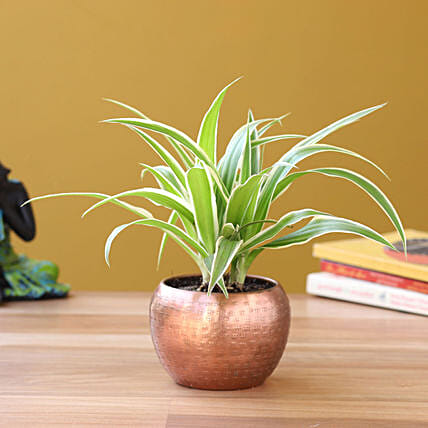 Spider Plant in Home Décor Pot