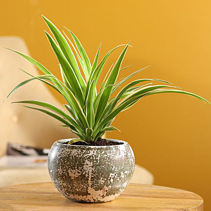 Spider Plant In Green Stone Finish Metal Pot