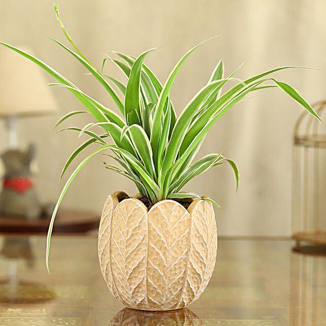 Spider Plant In Peach And White Round Ceramic Pot
