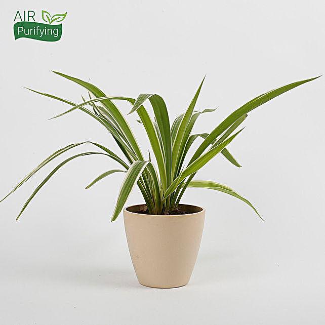 attractive spider plant