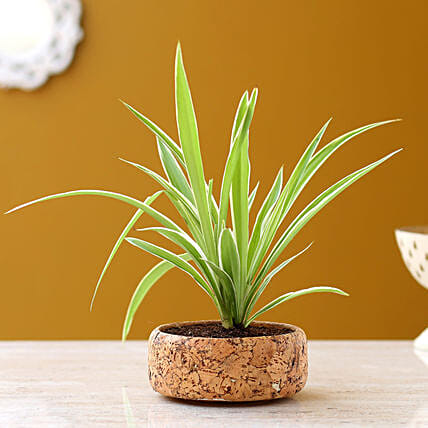 Spider Plant In Round Cork Planter