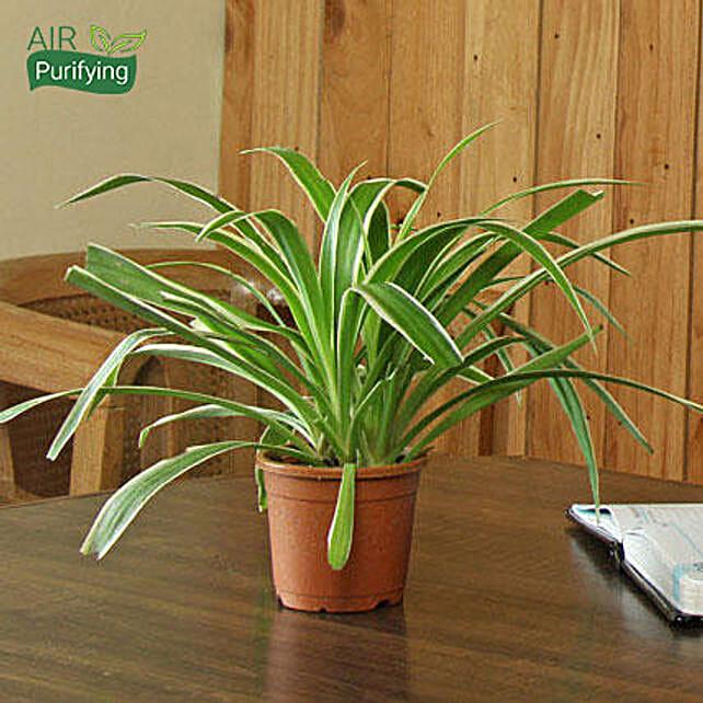 buy house warming plants online from ferns n petals. Black Bedroom Furniture Sets. Home Design Ideas
